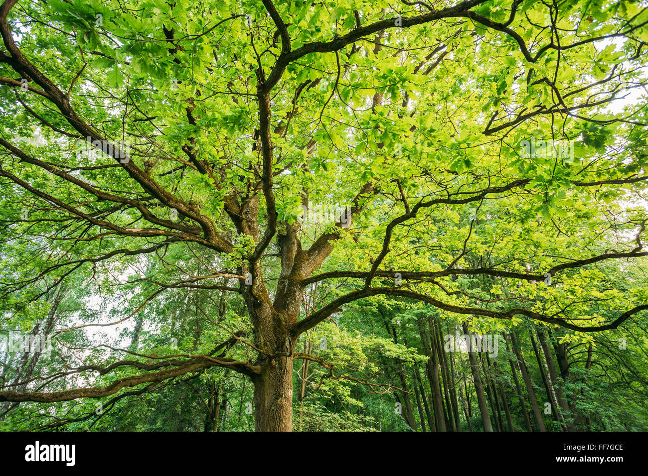 Canopy Of Tall Oak Tree. Deciduous Forest Summer Spring Nature. Upper Branches Of Tree & Canopy Of Tall Oak Tree. Deciduous Forest Summer Spring Nature ...