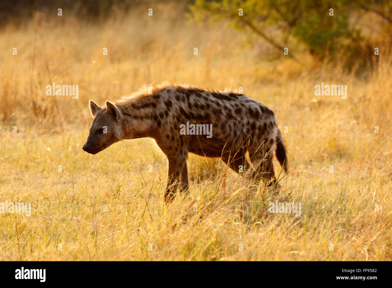 List of Synonyms and Antonyms of the Word: laughing hyenas - photo#15