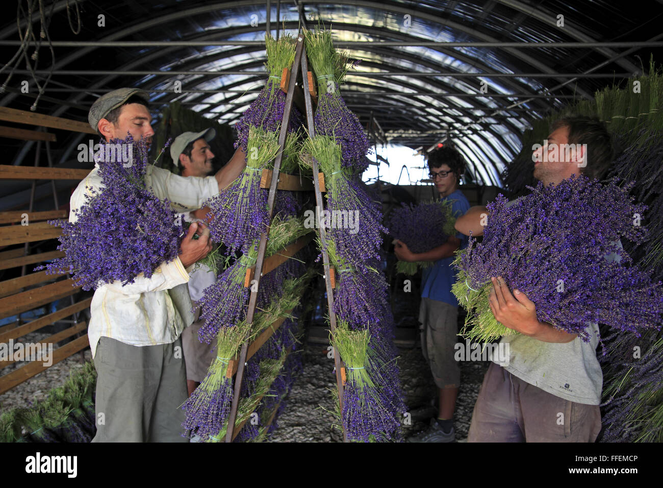 Manual Gathering Of Lavender Flowers Drying Bouquets Under Shelter