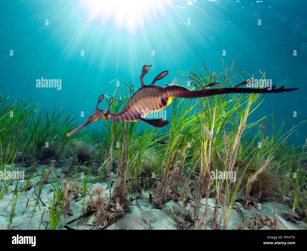Weedy Sea Dragon Flinders Pier Victoria Australia Natural ...