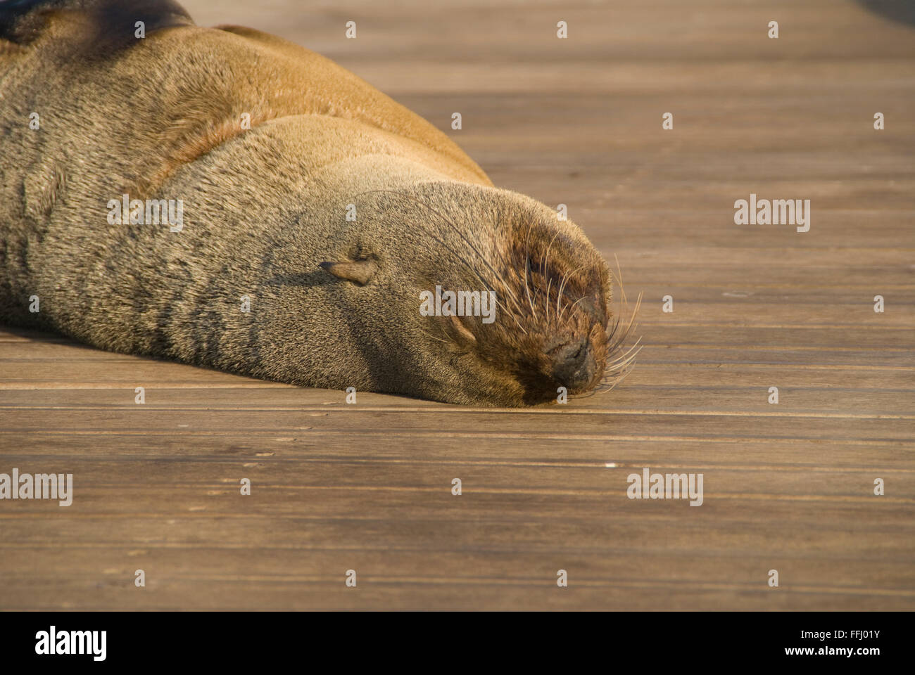 Sea lion seal difference