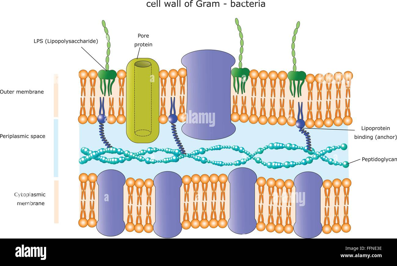 Cell structure of bacteria with diagram - Stock Vector Structure Of The Cell Wall Of A Gram Negative Bacterium