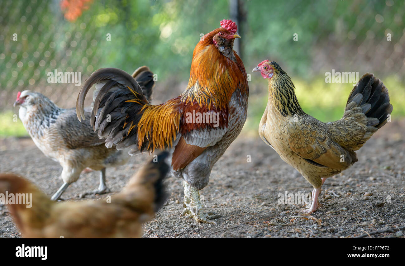 Mature rhode island red hen apologise, but