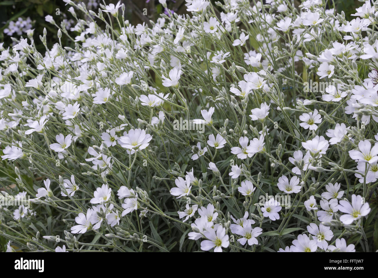 Pretty white perennial flowers pictures inspiration wedding and white perennial flowers images flower decoration ideas mightylinksfo Images