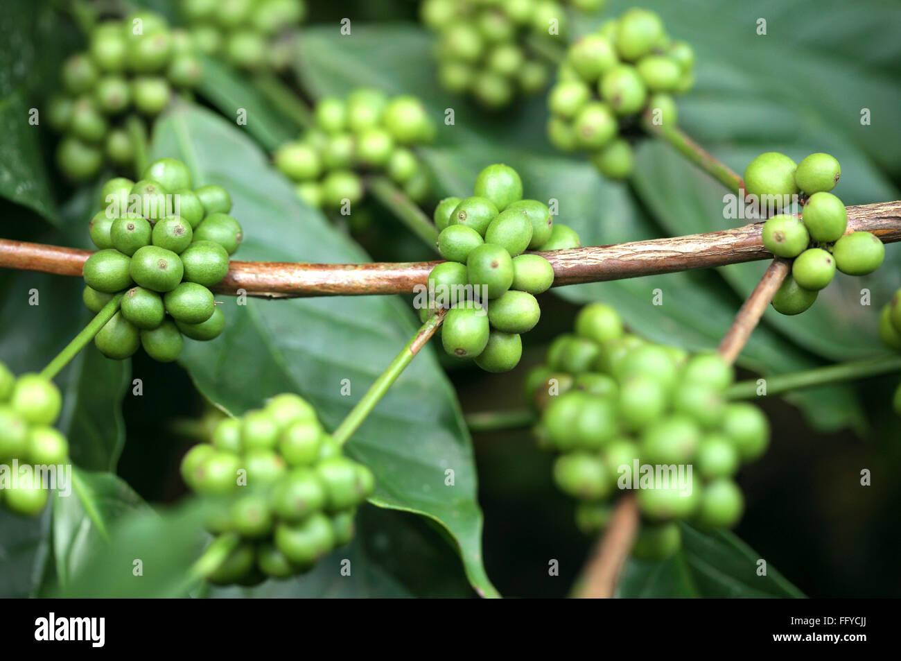 Where can i buy green coffee ultra