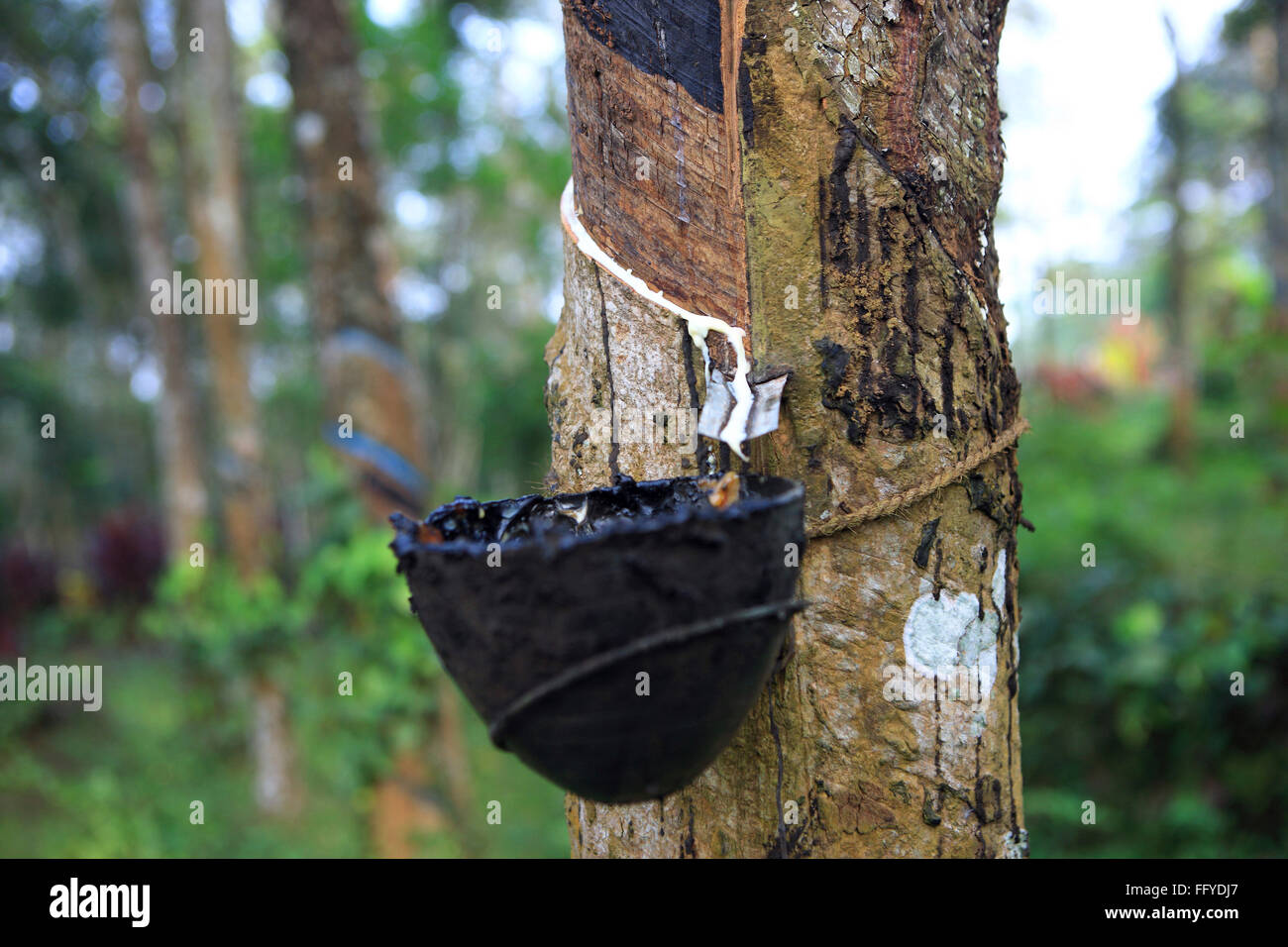Raw Rubber Ficus Elastica Collected From Rubber Plant
