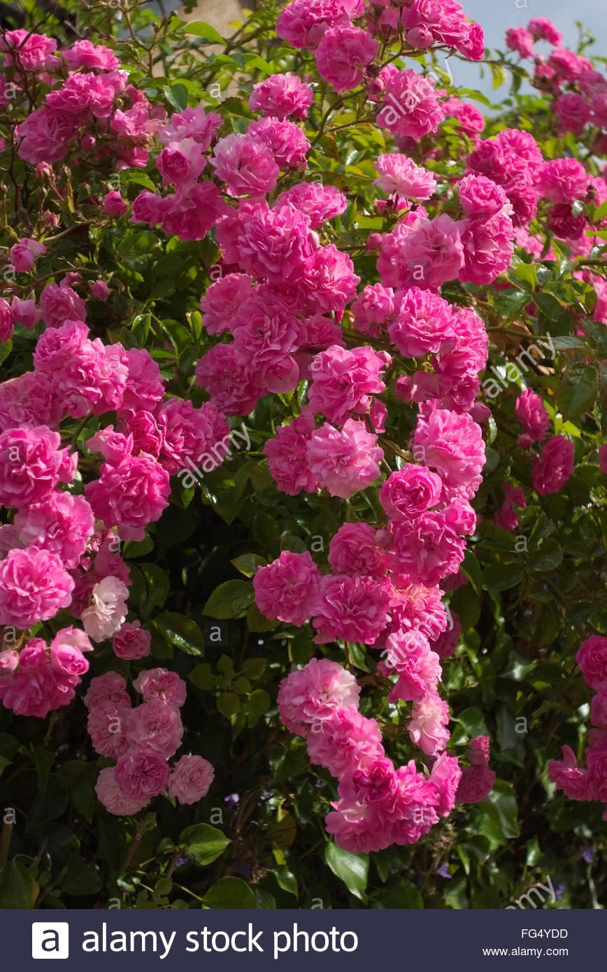 Ramblerrose rosa