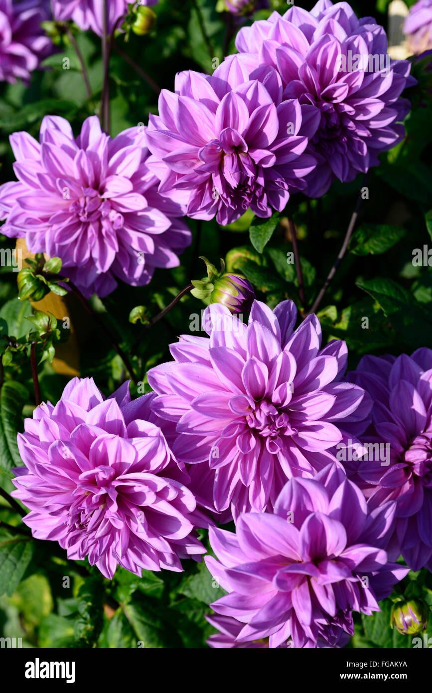 dahlia lilac time lavender purple dinnerplate dahlias flower flowers bloom blossom perennial tuber tuberous plant RM Floral & dahlia lilac time lavender purple dinnerplate dahlias flower flowers ...