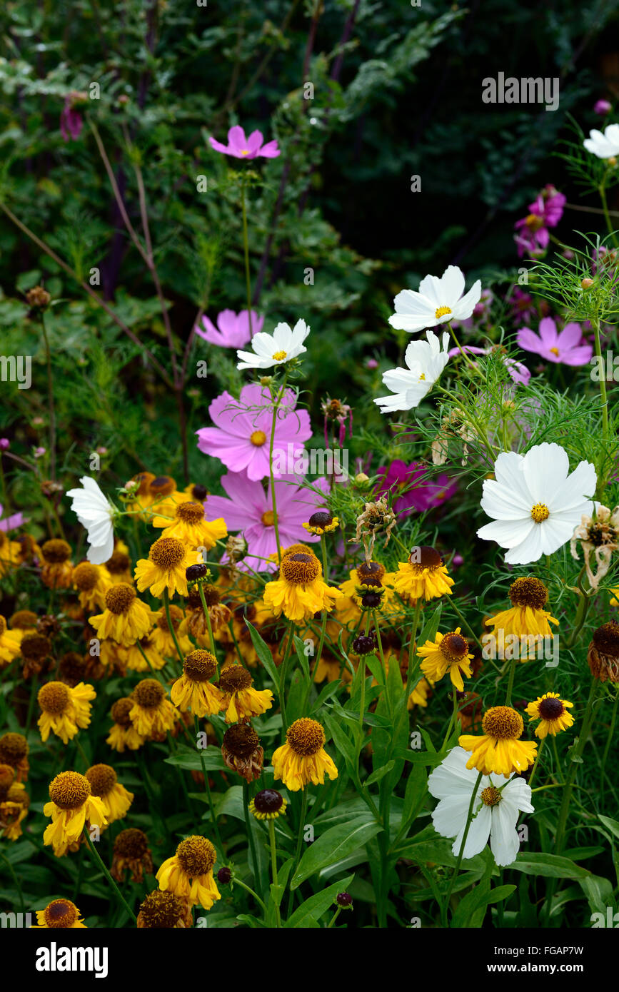 Helenium the bishop cosmos sensation mixed yellow pink white flower helenium the bishop cosmos sensation mixed yellow pink white flower flowers combination display annual perennial mix rm floral izmirmasajfo Gallery