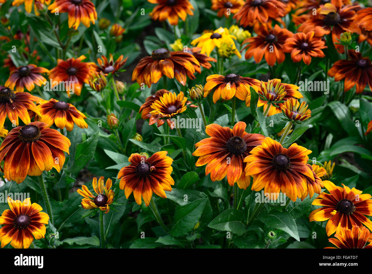 Rudbeckia autumn colors