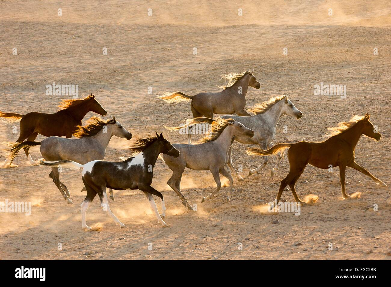 Arabian Horse. Herd galloping in the desert in evening ...