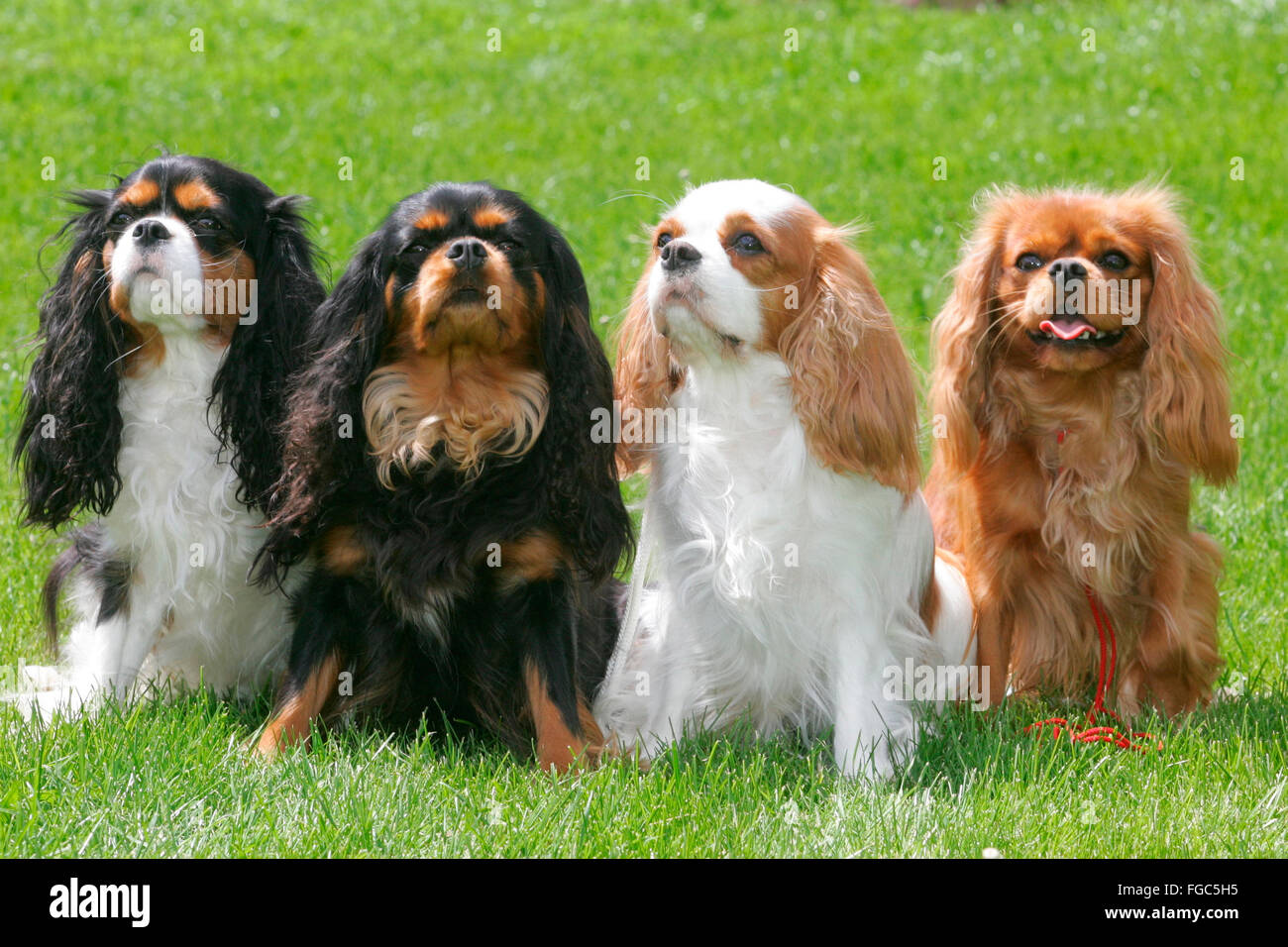 Cavalier King Charles Spaniel Four Adults Of Different Color Sitting Next To Each Other On