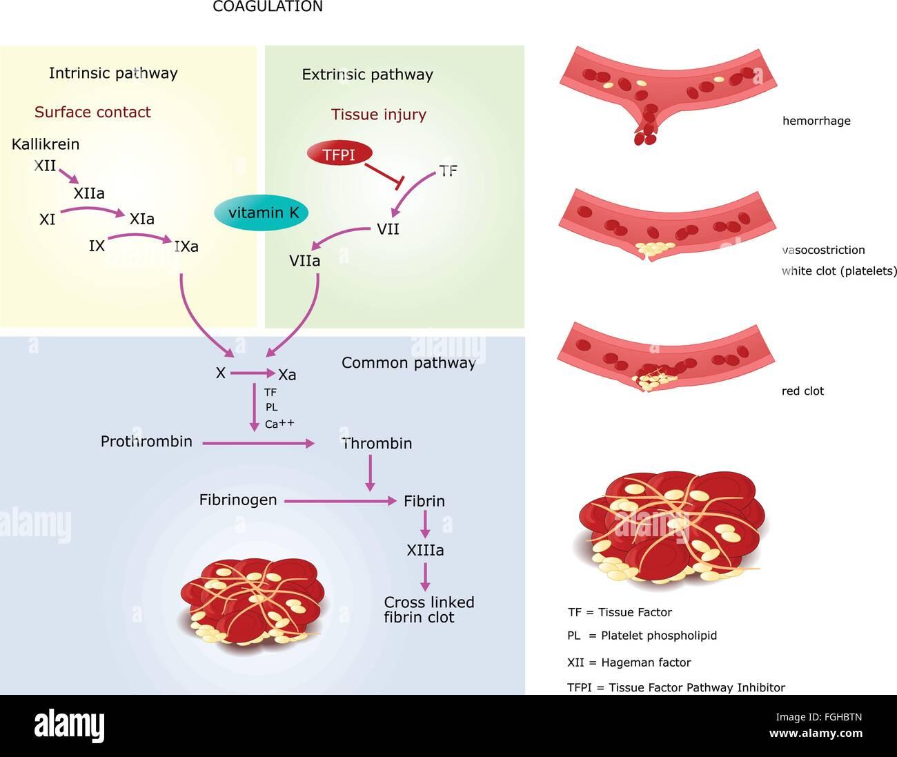 hemostasis coagulation and factor xii contact
