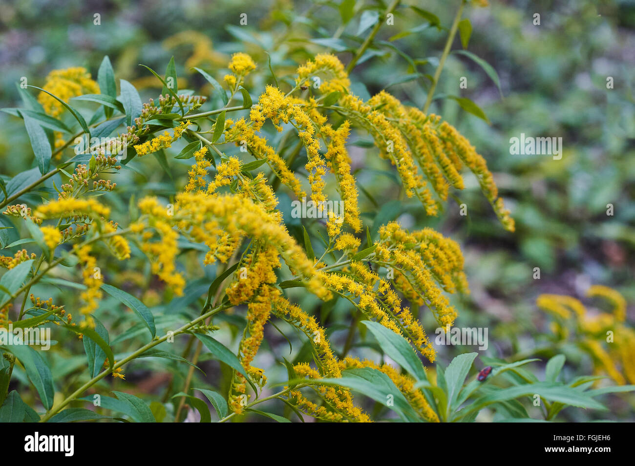 Beautiful yellow goldenrod flowers blooming beautiful flowers of beautiful yellow goldenrod flowers blooming beautiful flowers of autumn izmirmasajfo Images