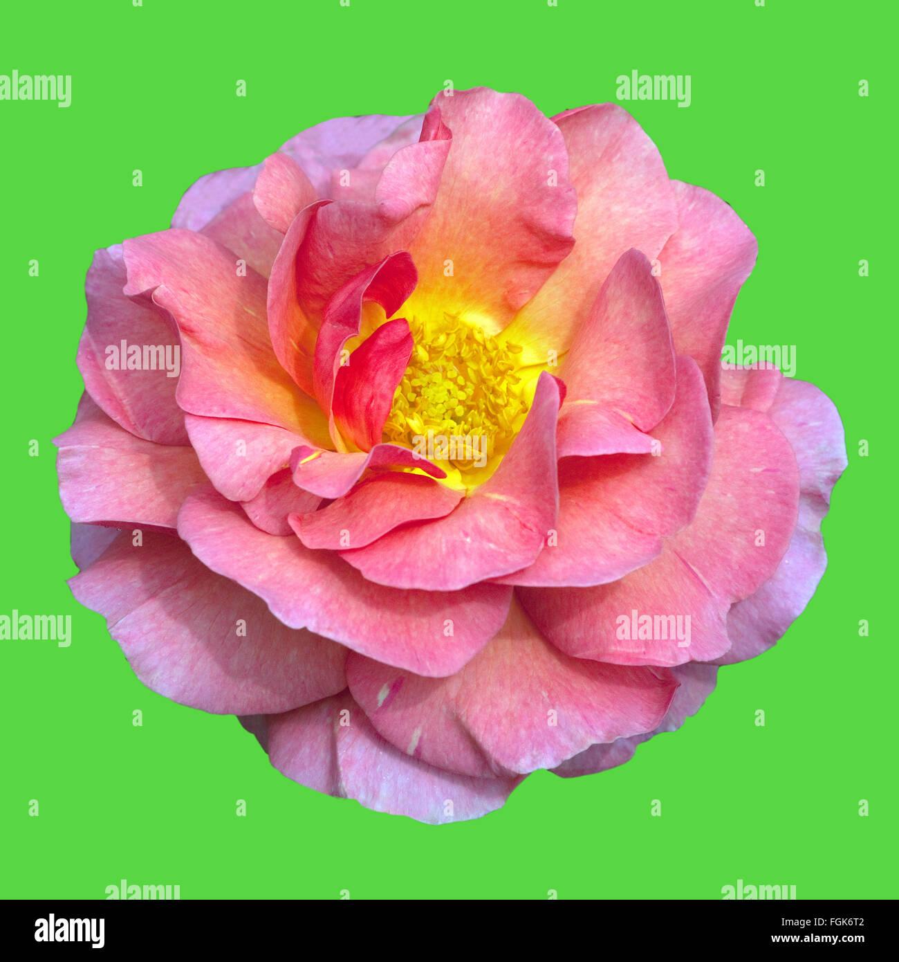 englische rose lilian austin stock photo royalty free image 96308802 alamy. Black Bedroom Furniture Sets. Home Design Ideas