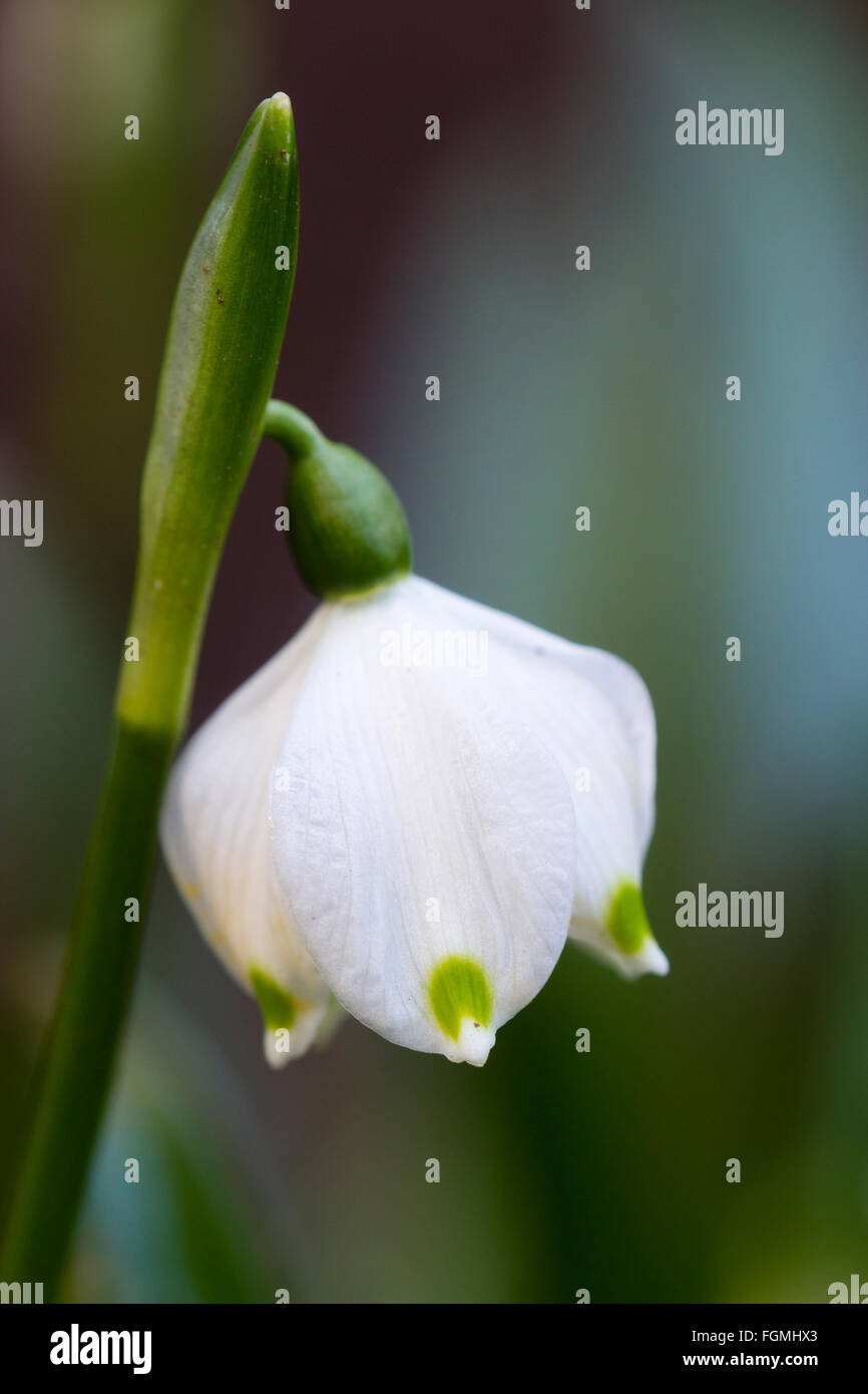 Flower of the small late winter to early spring flowering bulb flower of the small late winter to early spring flowering bulb leucojum vernum mightylinksfo Gallery