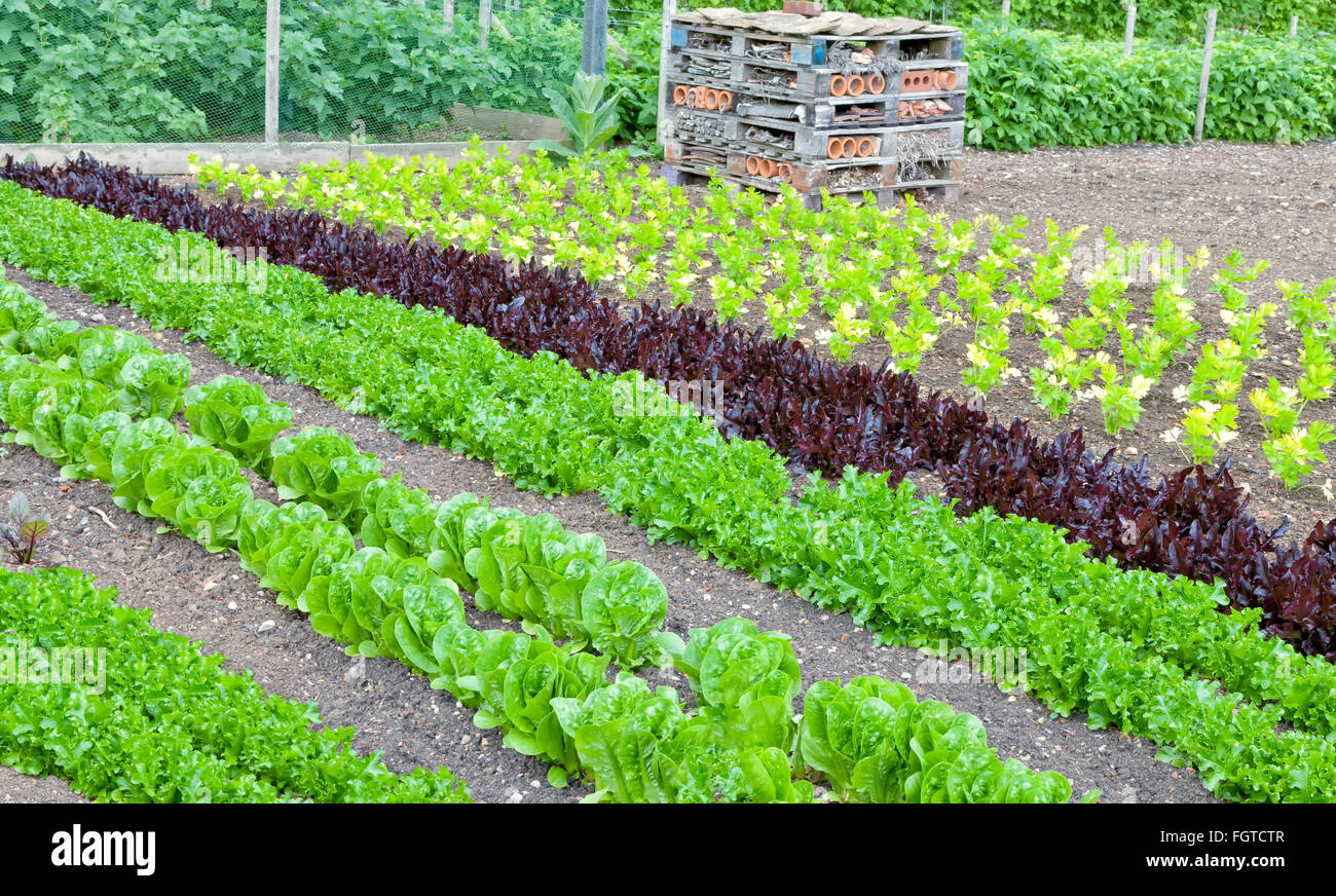Vegetable garden rows - Stock Photo Rows Of Green Red Lettuce And Celery Growing In A Vegetable Garden With Man Made Insect And Bug Home