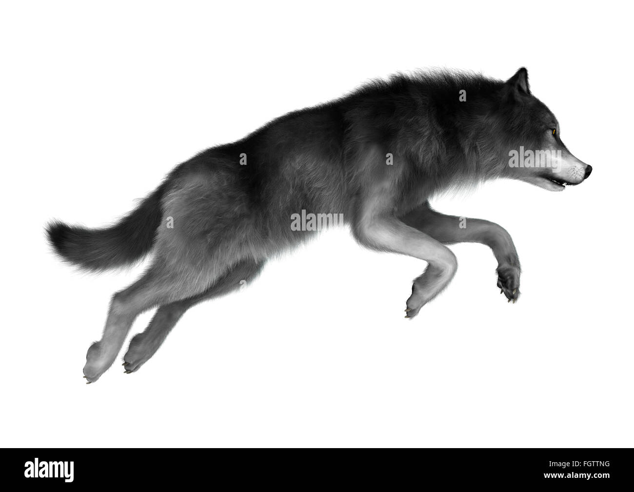 Gray wolf jumping