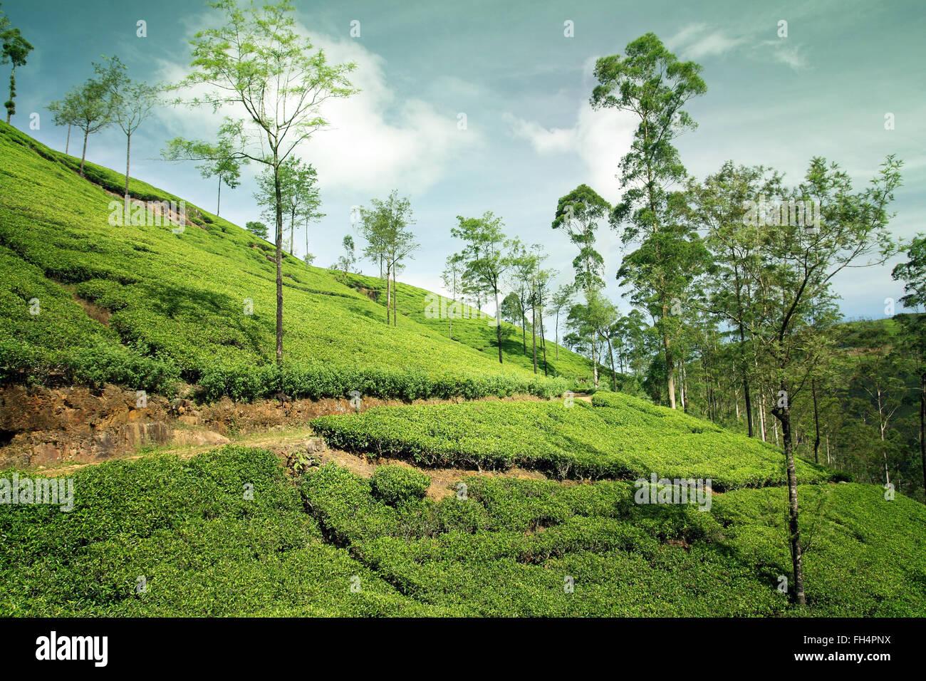 Beautiful Nature Of Cameron Highland Tea Plantation Landscape ...