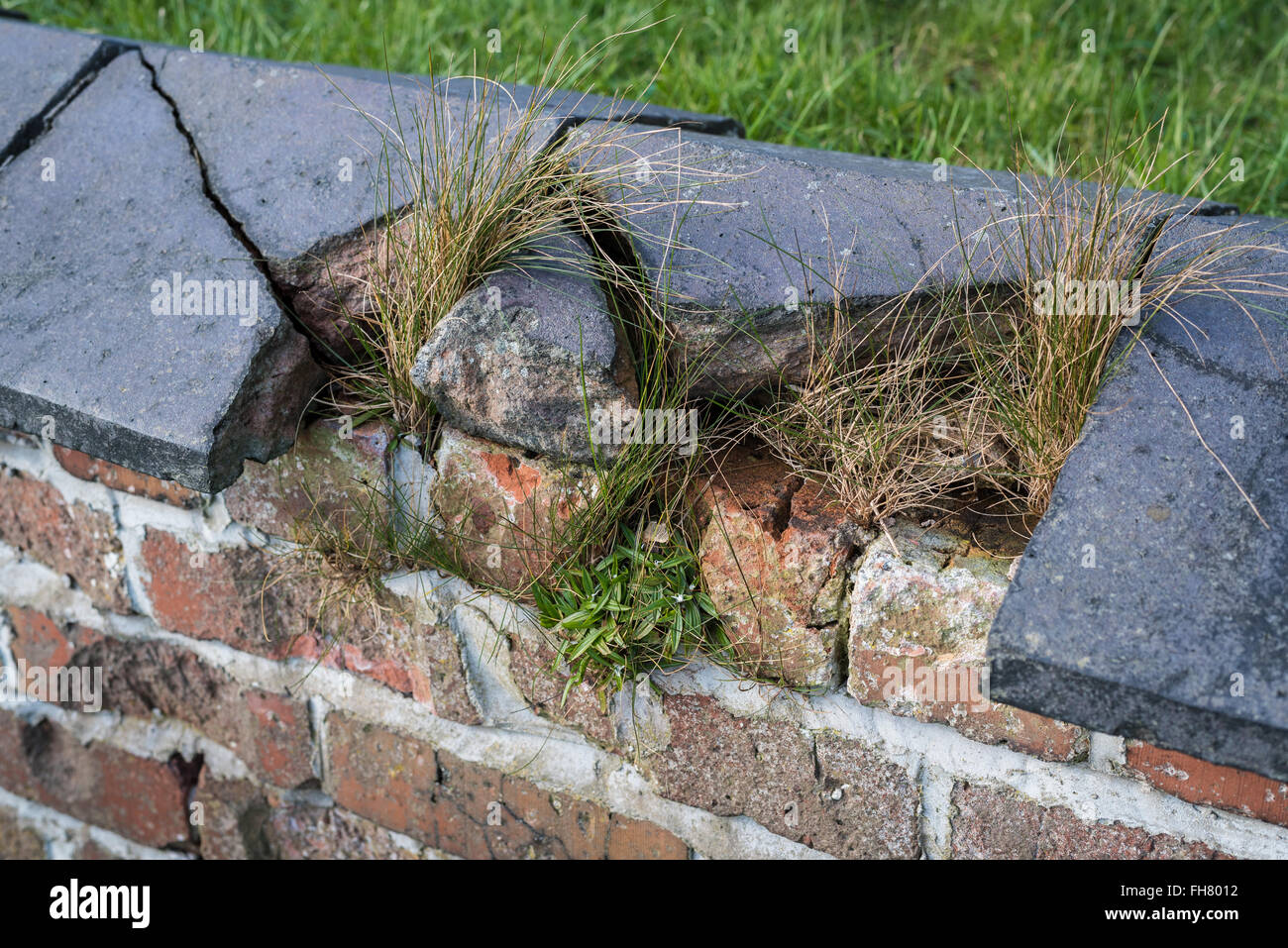 Broken, Cracked And Overgrown Victorian Garden Wall Capping.