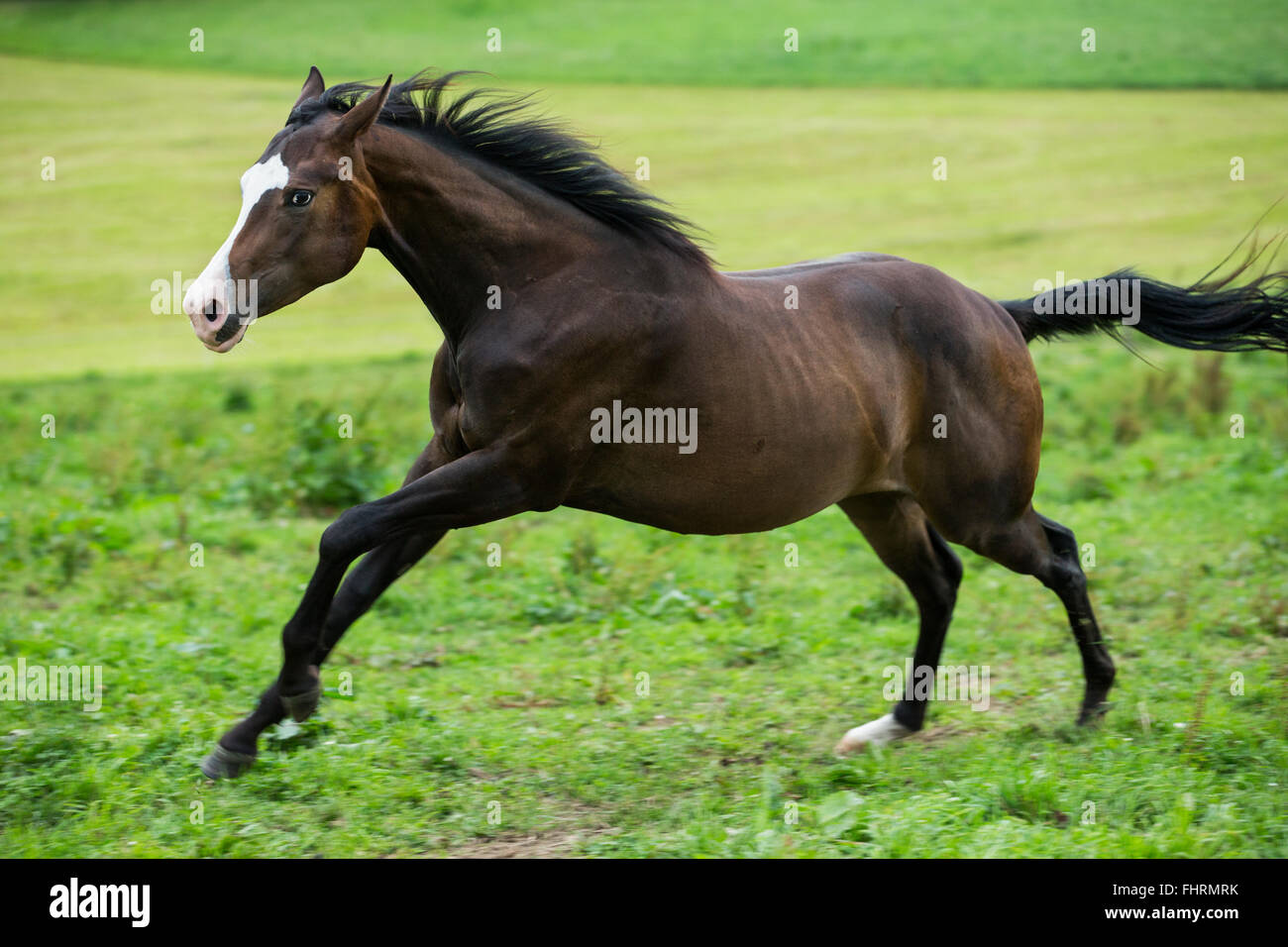 Paint Horse, bay horse galloping in a meadow Stock Photo ...