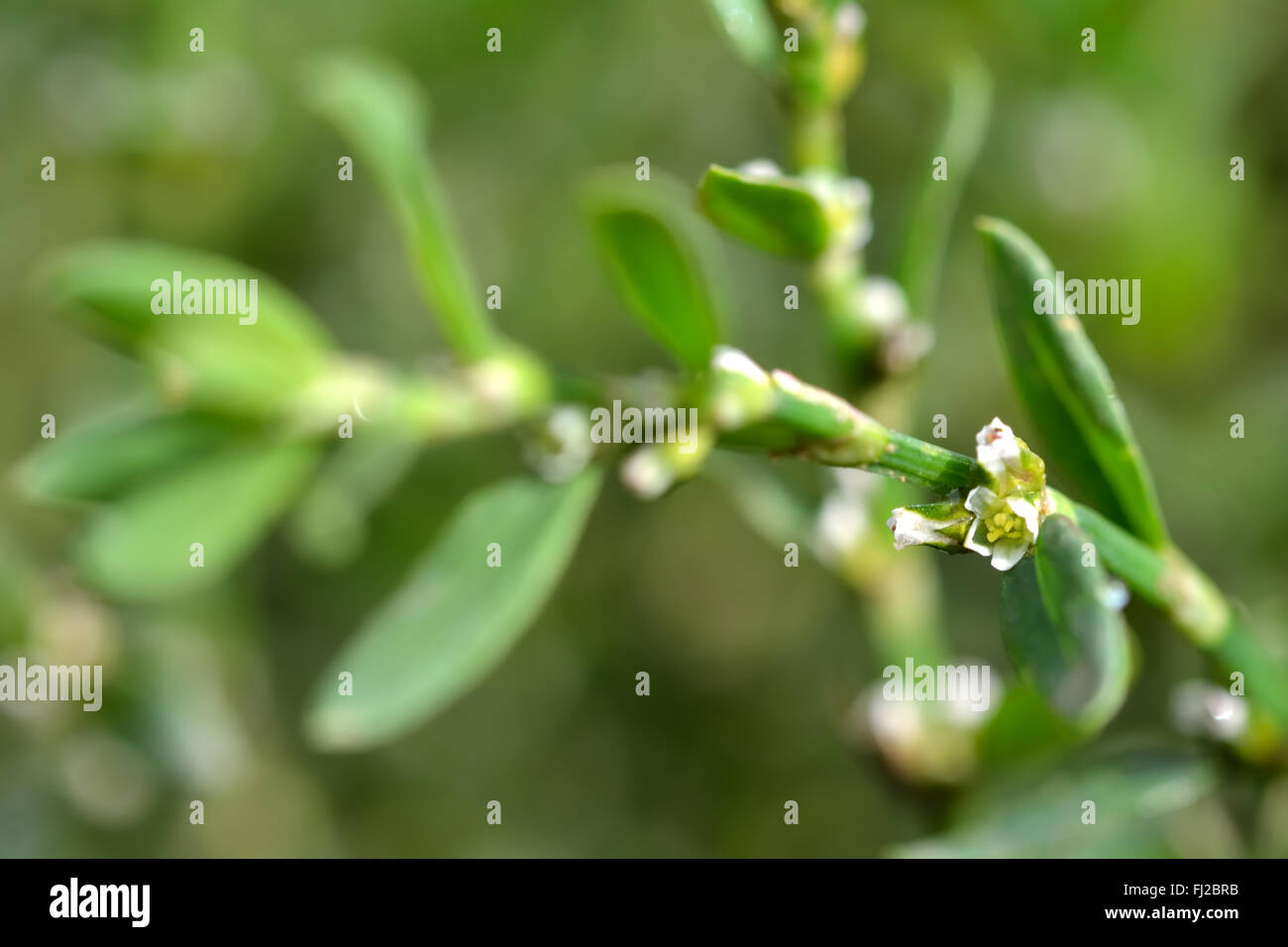Knotgrass polygonum aviculare tiny white flowers of this low knotgrass polygonum aviculare tiny white flowers of this low sprawling plant of waste dhlflorist Image collections