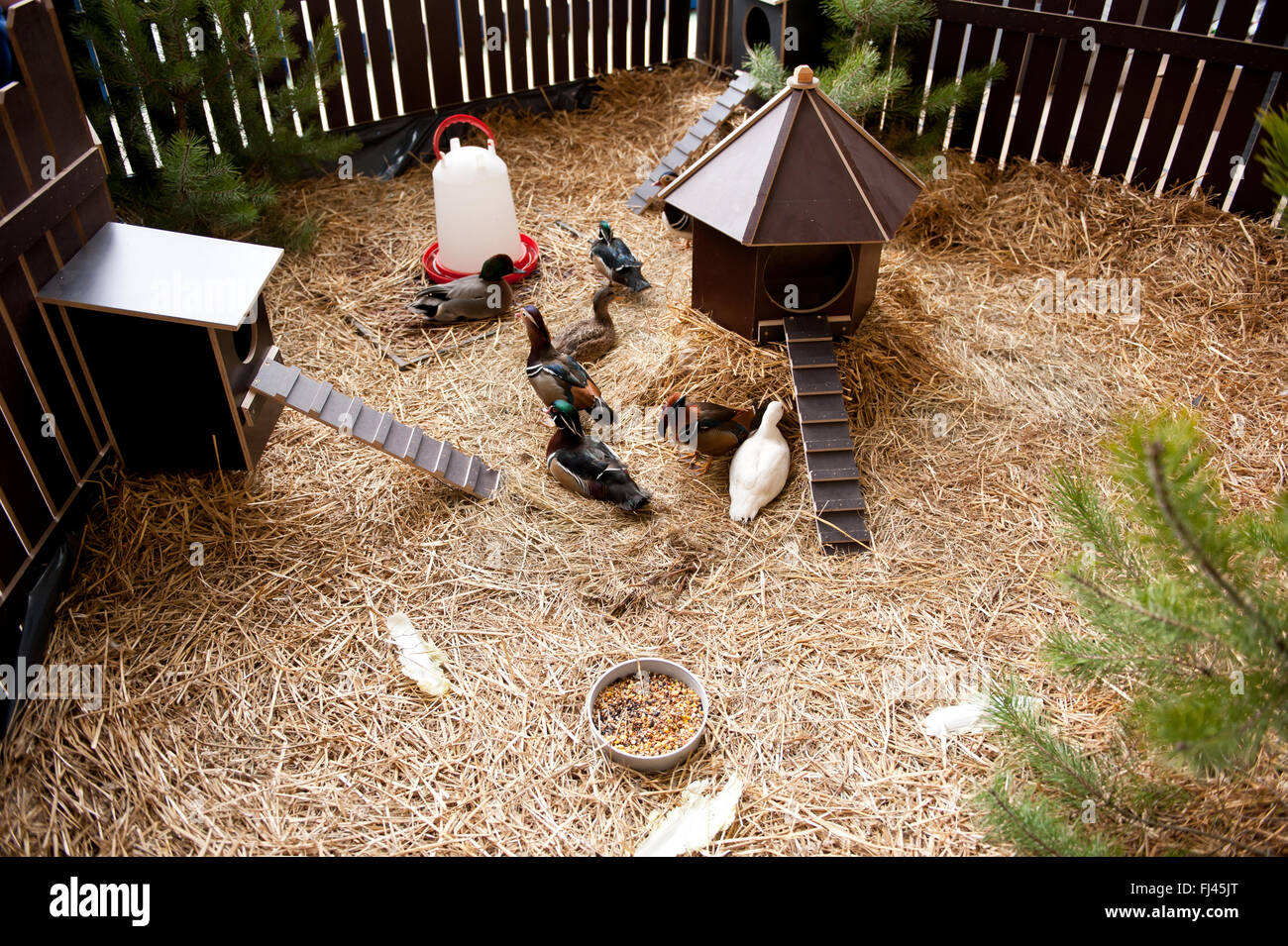 ducks flock in enclosure fence at ornamental chickens show in
