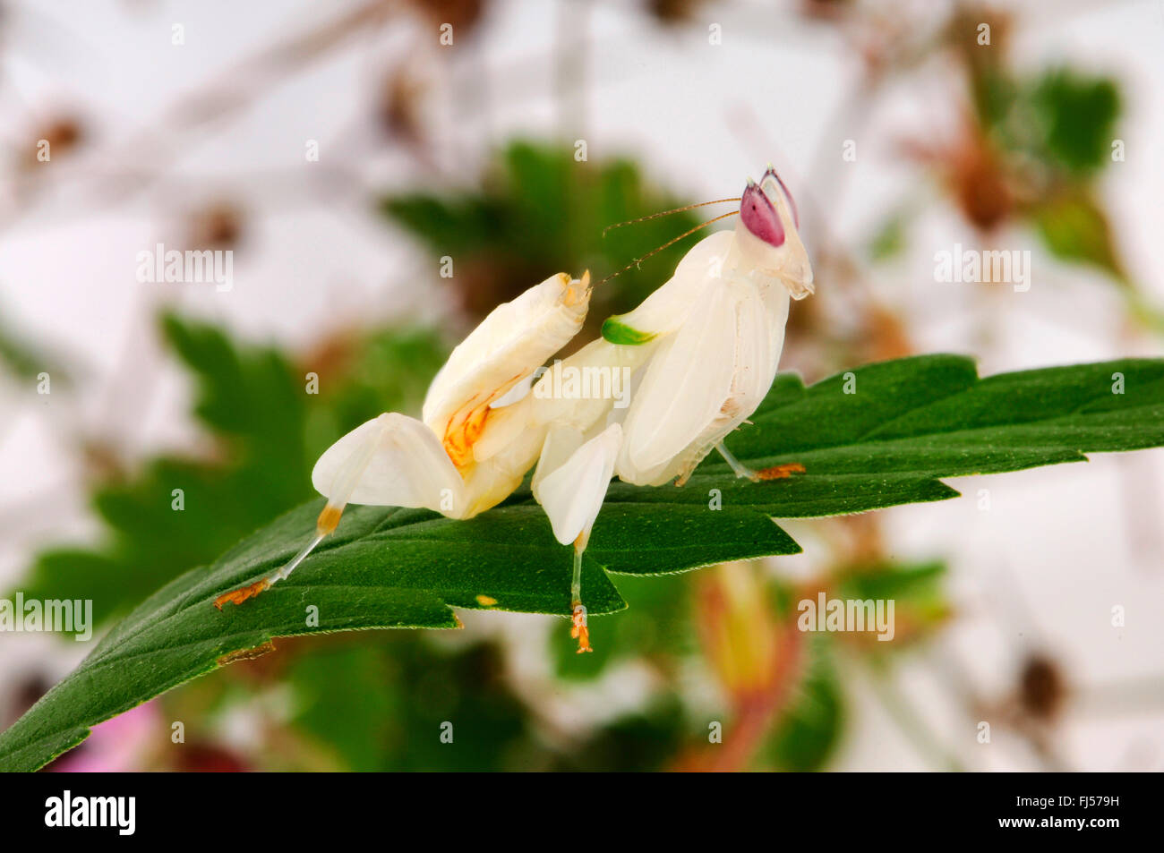 Walking flower mantis orchid mantis pink orchid mantis stock photo walking flower mantis orchid mantis pink orchid mantis hymenopus coronatus white mantis on a cannabis leaf dhlflorist Image collections