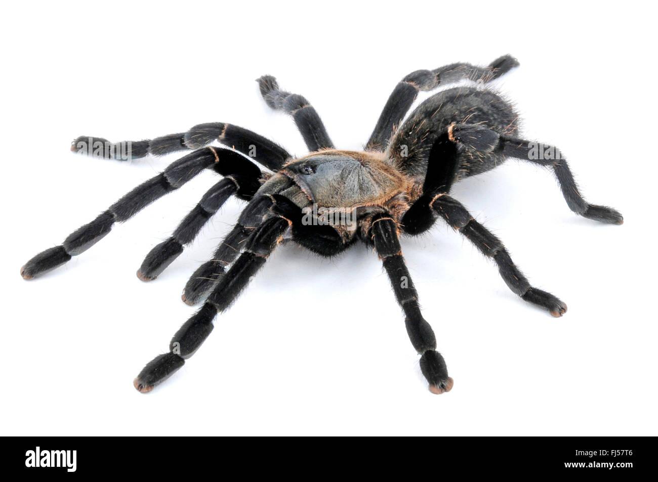 tarantula ornithoctonus costalis haplopelma costale thai bird