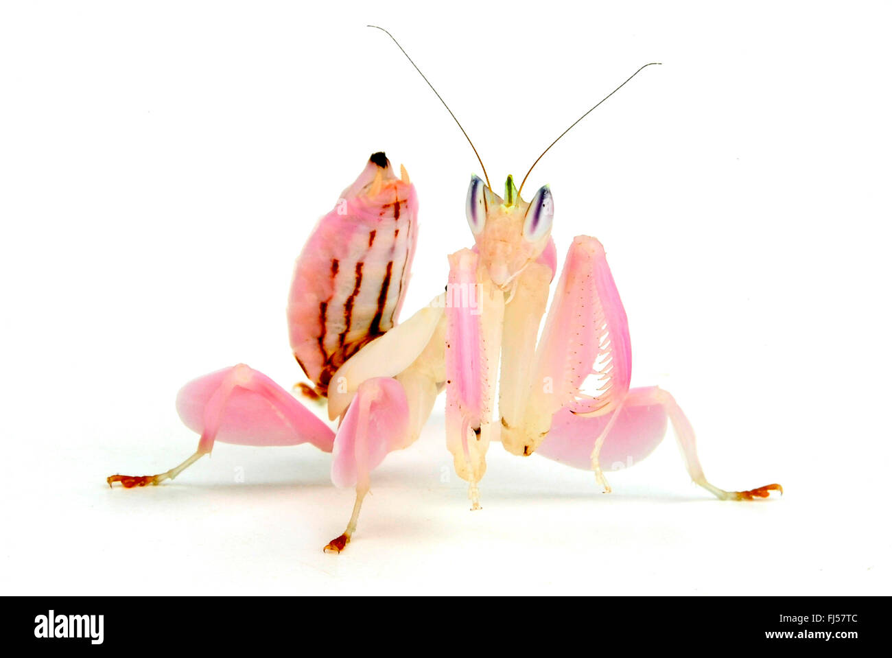 Walking flower mantis orchid mantis pink orchid mantis walking flower mantis orchid mantis pink orchid mantis hymenopus coronatus mantis mimics an orchid flower dhlflorist Image collections