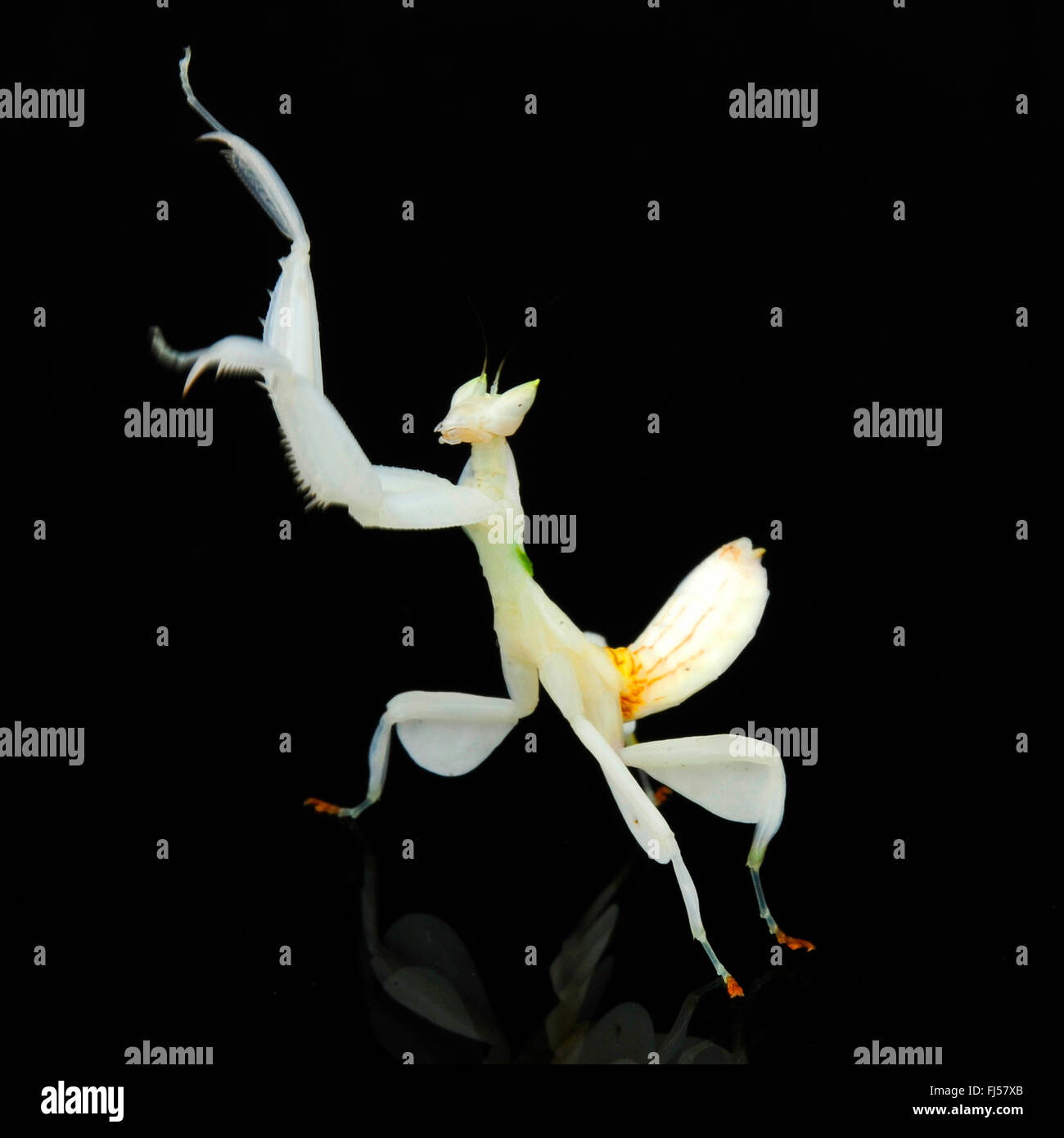 Walking flower mantis orchid mantis pink orchid mantis stock photo walking flower mantis orchid mantis pink orchid mantis hymenopus coronatus white mantis in front of black background dhlflorist Image collections