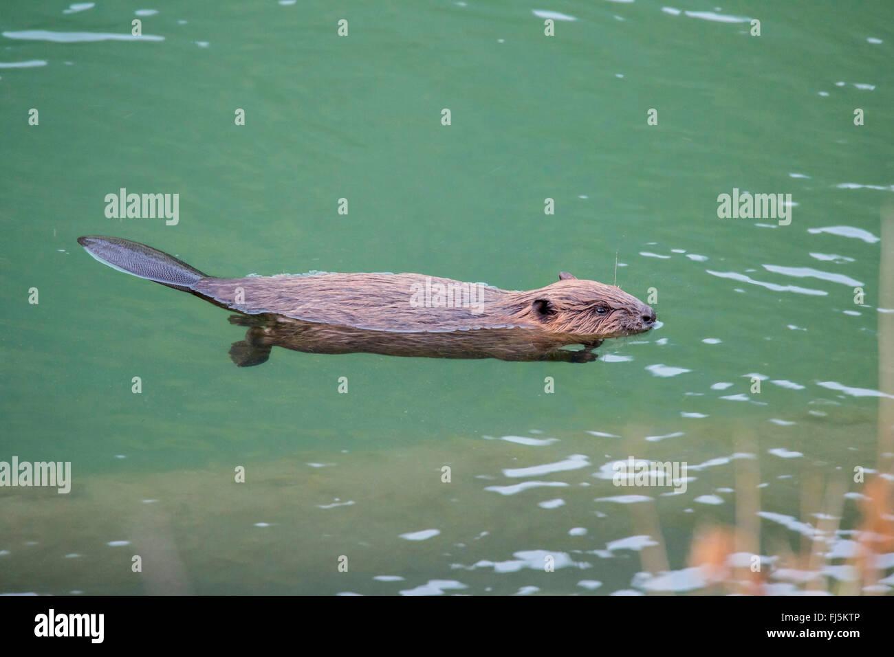 Eurasian beaver, European beaver (Castor fiber), juvenile floating on the  water, Austria, Tyrol