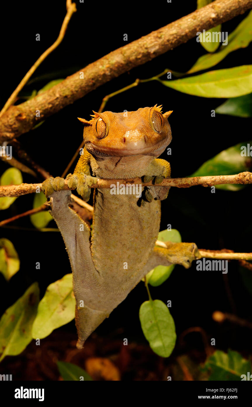 giant crested gecko - photo #45