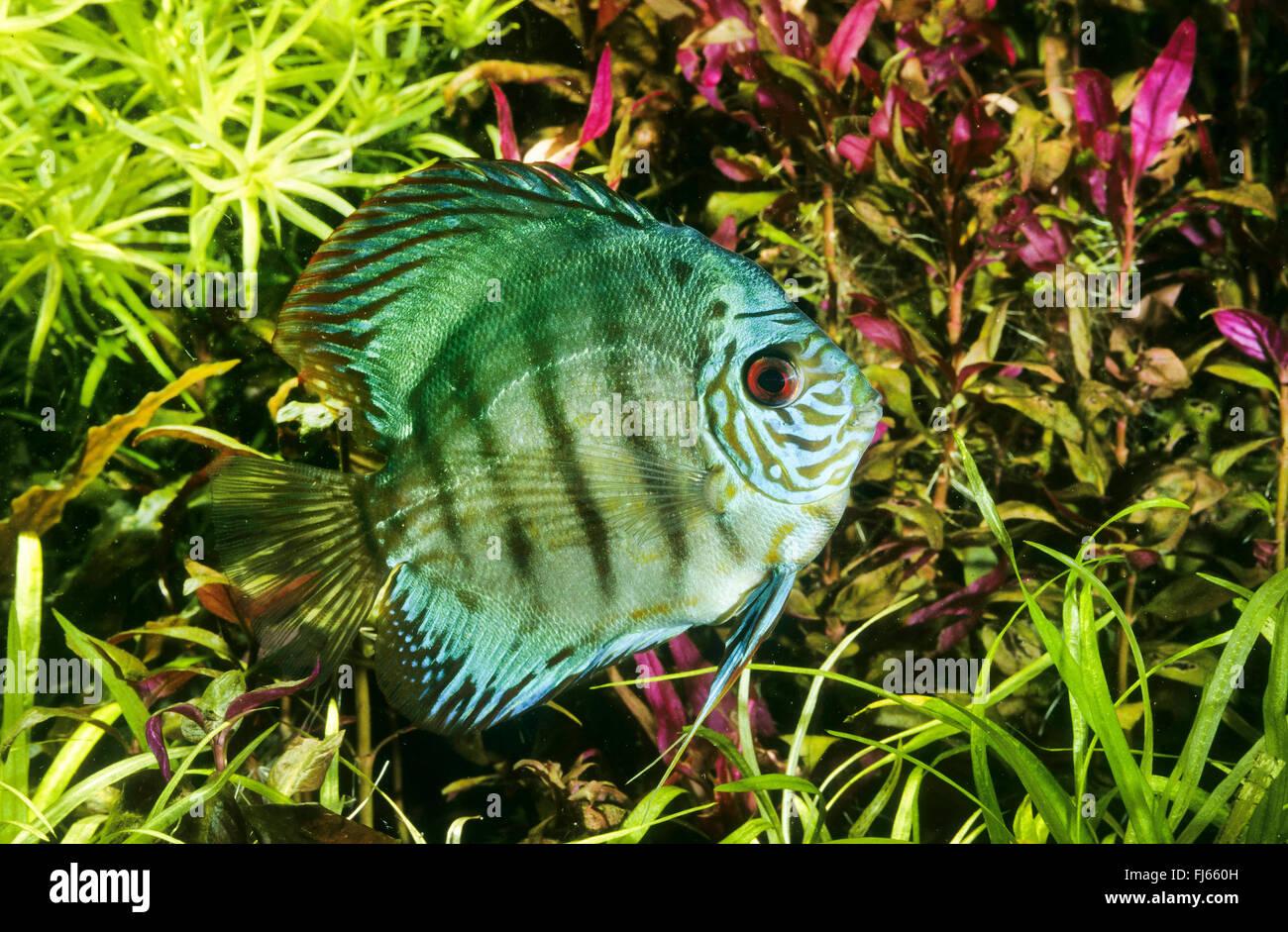 Symphysodon Discus | Blue Discus Pompadour Fish Symphysodon Aequifasciatus Symphysodon