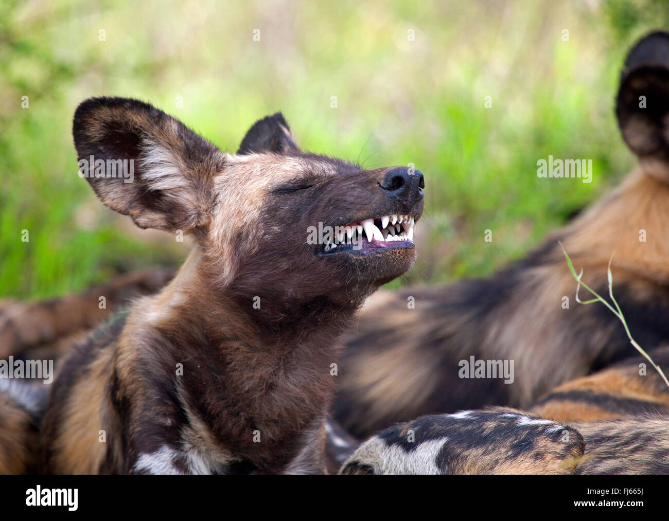 african wolf dog Scientists have discovered a new species of wild dog by analyzing the dna of jackals in europe and africa.