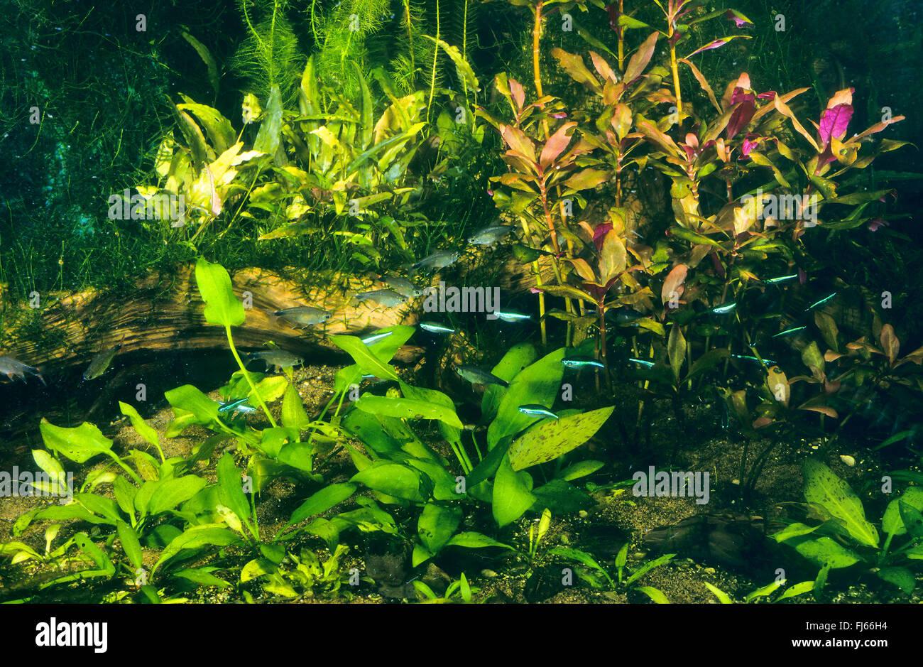 Freshwater aquarium fish neon - Green Neon Tetra Paracheirodon Simulans Hyphessobrycon Simulans Tropical Fresh Water Fish Tank