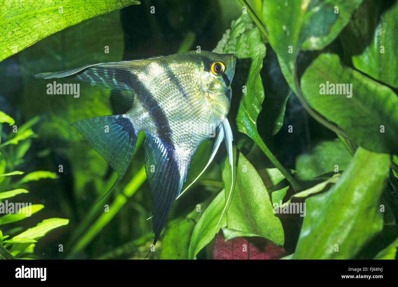 Freshwater angelfish longfin angel fish black angelfish for Black fish eggs