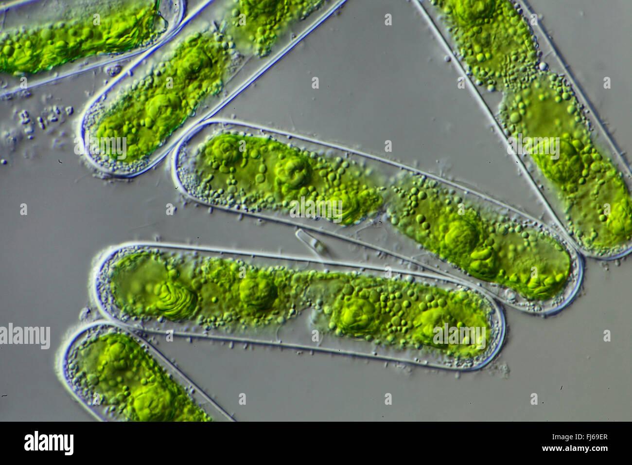green algae (Chlorophyceae), green algae Stock Photo ...