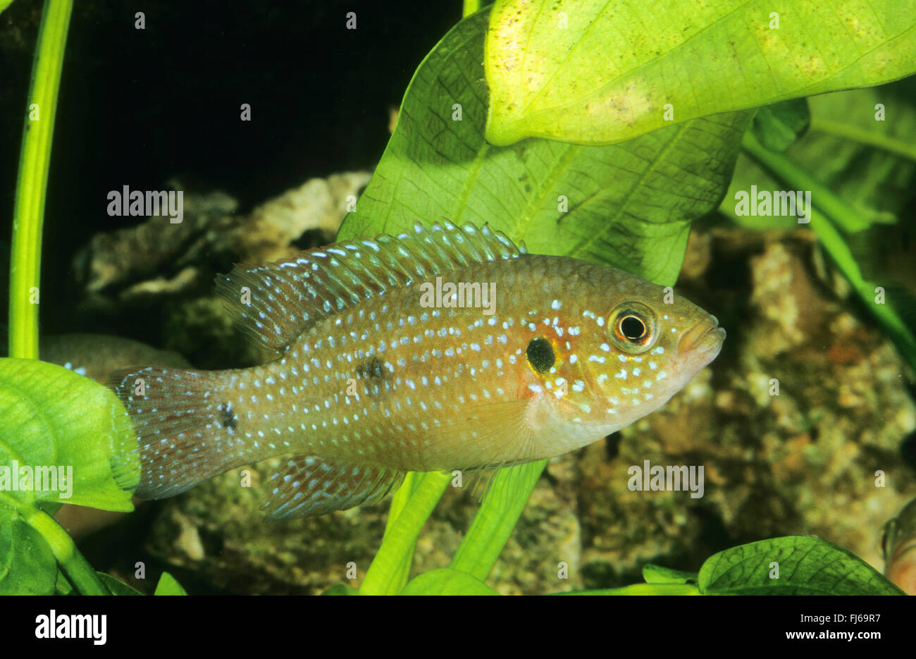 Freshwater jewel fish - Blood Red Jewel Fish Blood Red Jewel Hemichromis Lifalili Swimming