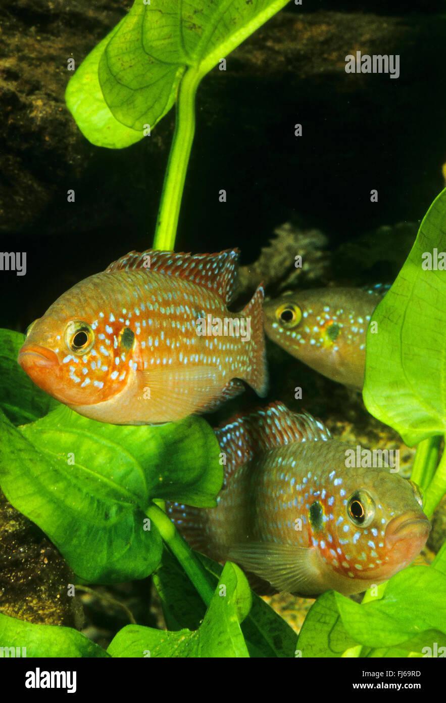 Freshwater jewel fish - Blood Red Jewel Fish Blood Red Jewel Hemichromis Lifalili Three Blood Red Jewel Fishes