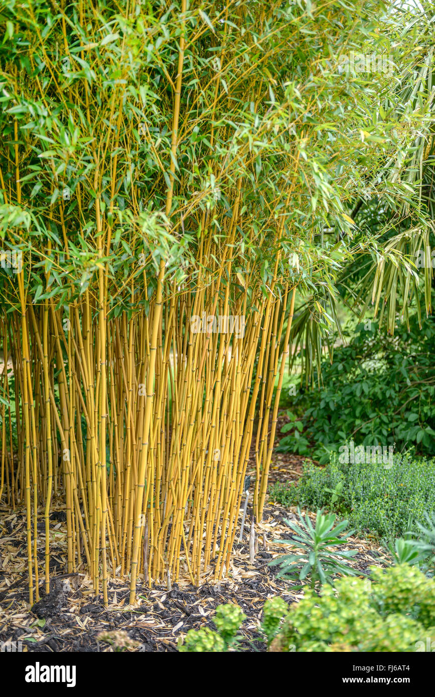 golden vivax bamboo vigorous bamboo phyllostachys vivax. Black Bedroom Furniture Sets. Home Design Ideas