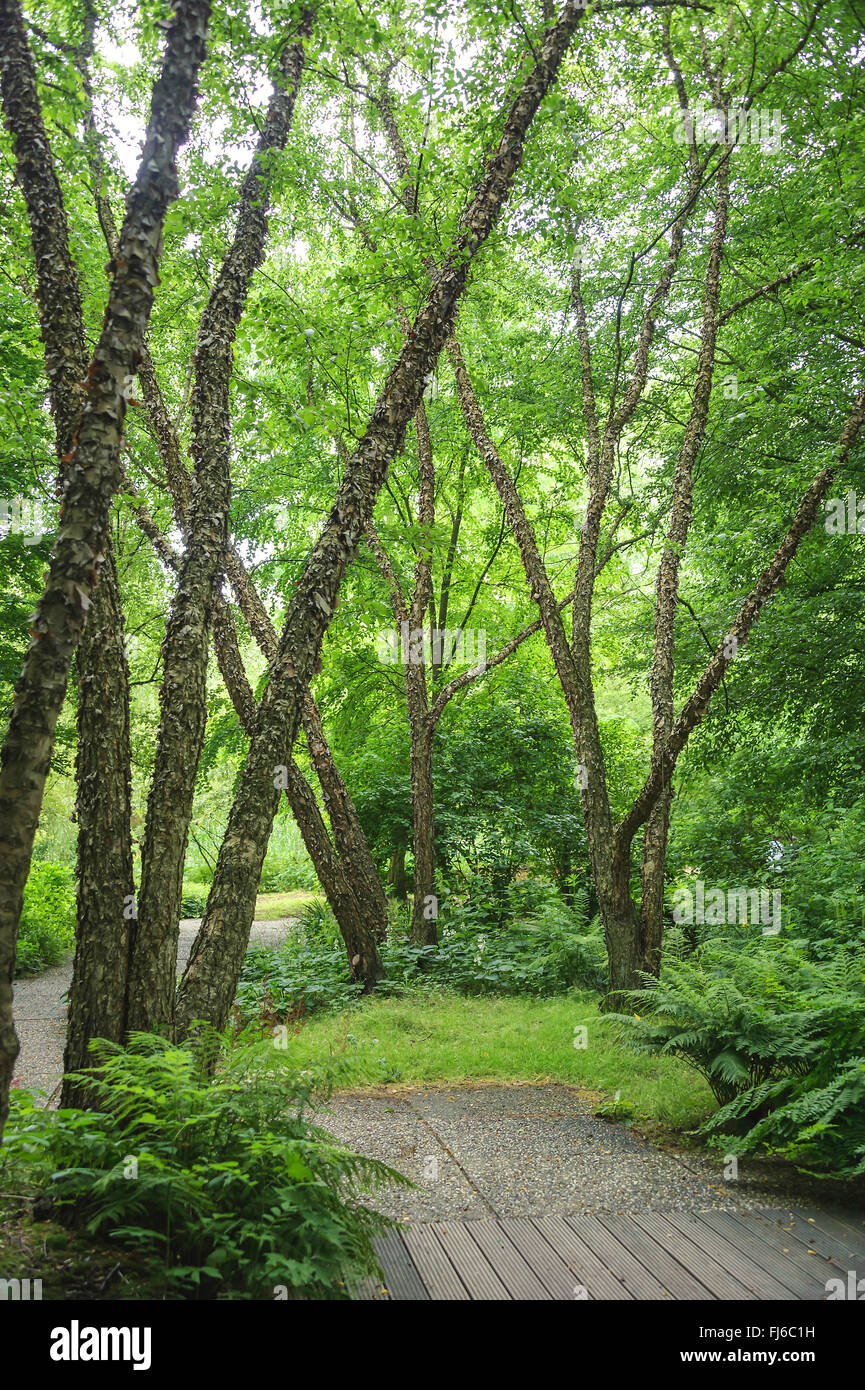 black singles in birch river All about black walnut all about oak  white birch or river birch  we like the visual aesthetics of the white birch and want to add one to our landscape.