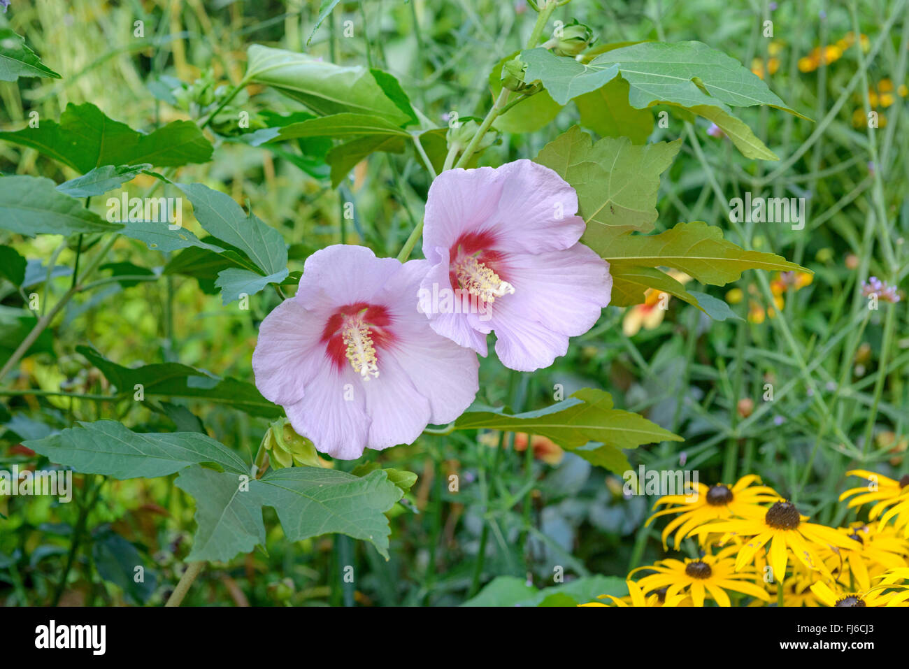 shrubby althaea rose of sharon hibiscus syriacus 39 resi. Black Bedroom Furniture Sets. Home Design Ideas