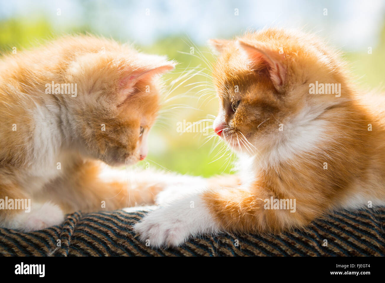 Two cute kittens playing on the couch Stock Royalty Free