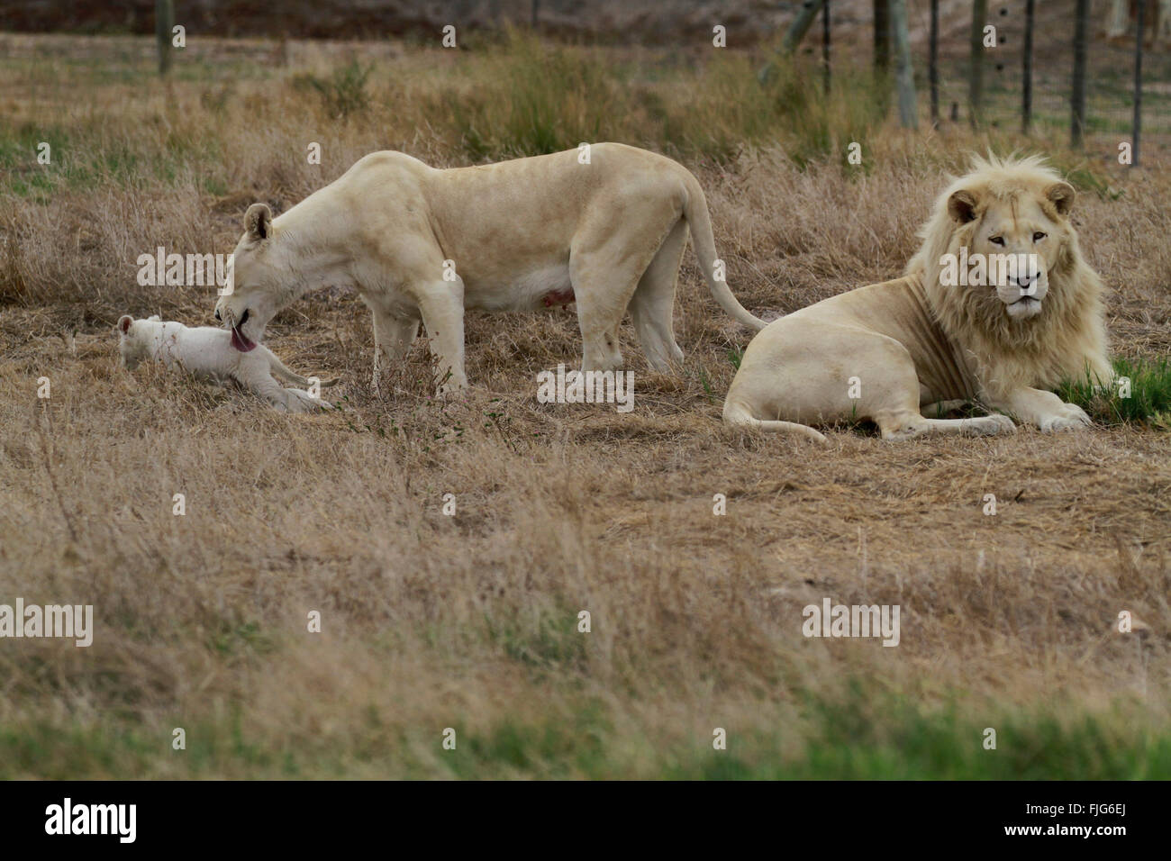 White Lion Family - Stock photo white lion family panthera leo krugeri in the drakenstein lion park klapmuts cape winelands south africa