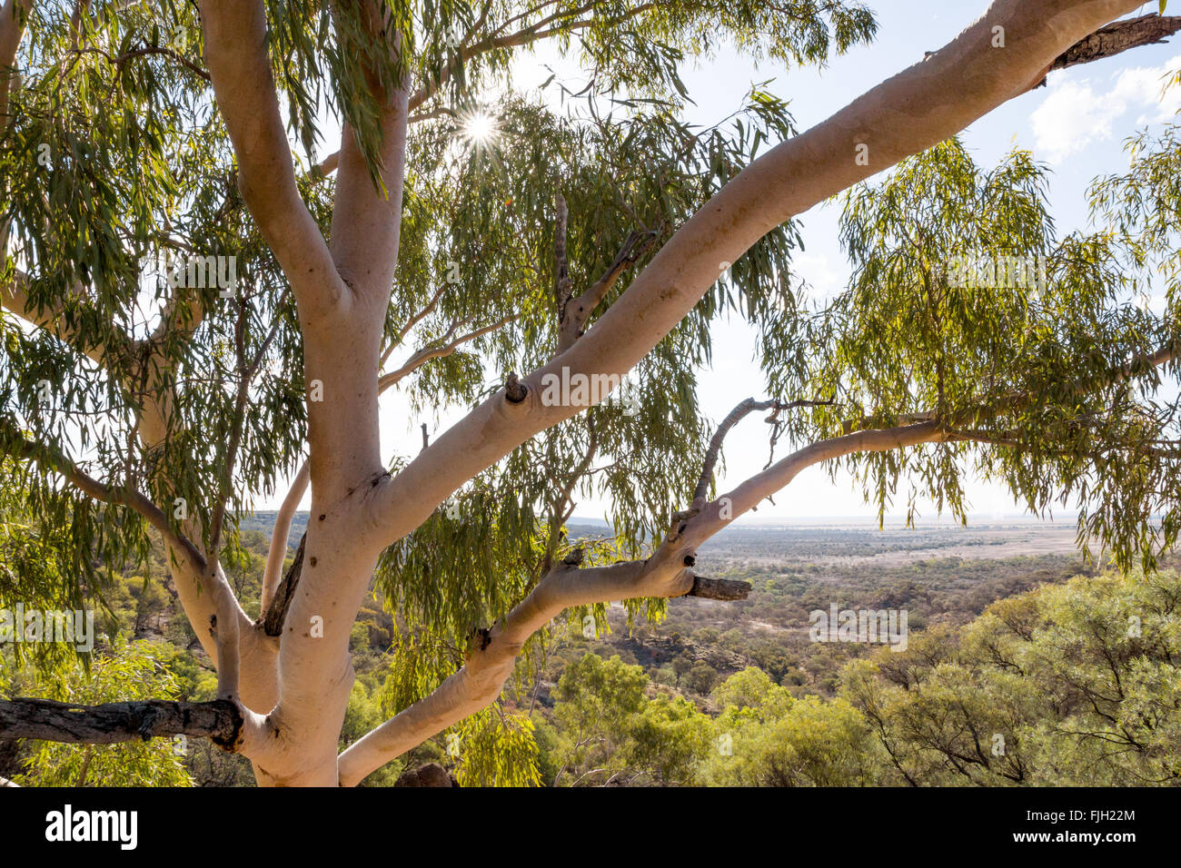 Looking into the canopy of an Australian gum (eucalyptus) tree in the outback near Winton Queensland & Looking into the canopy of an Australian gum (eucalyptus) tree in ...