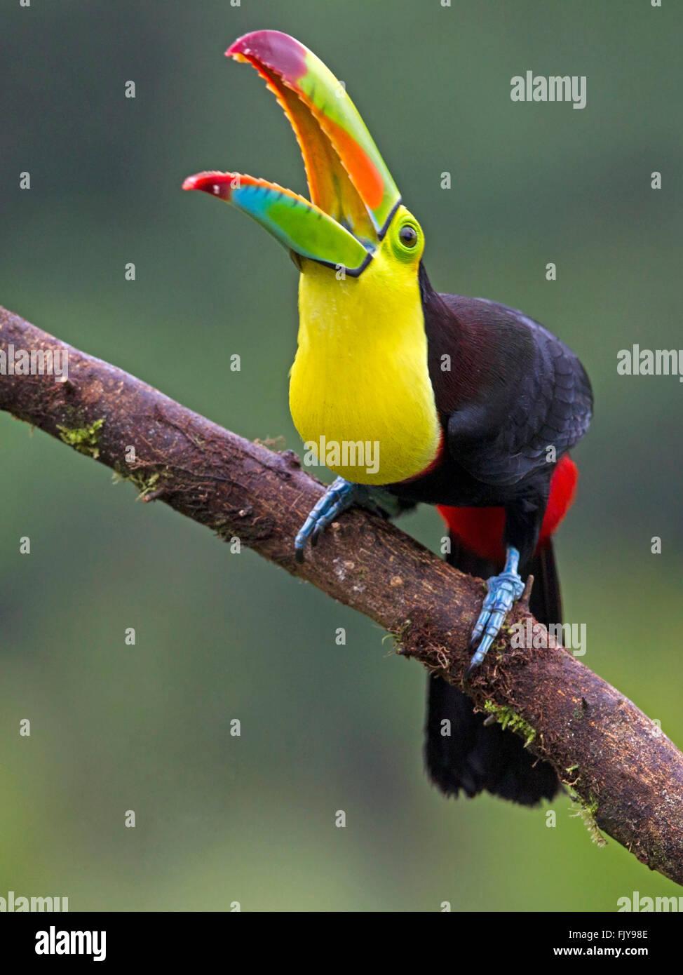 Keel-billed toucan perched on branch, beak open Stock ...