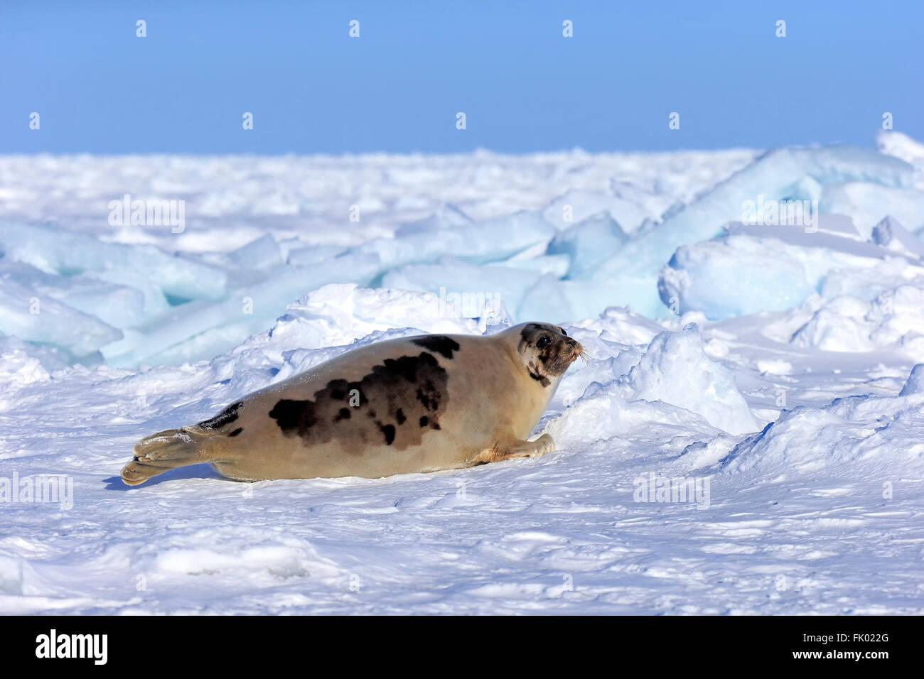 Closeup Of Harp Seal Pup Phoca Groenlandica Lying On Ice Gulf Of ...