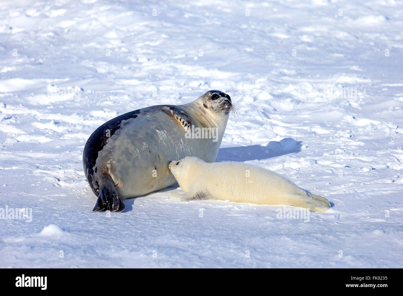 Canada Raises Quota For Controversial Seal Hunt Photos and Images ...