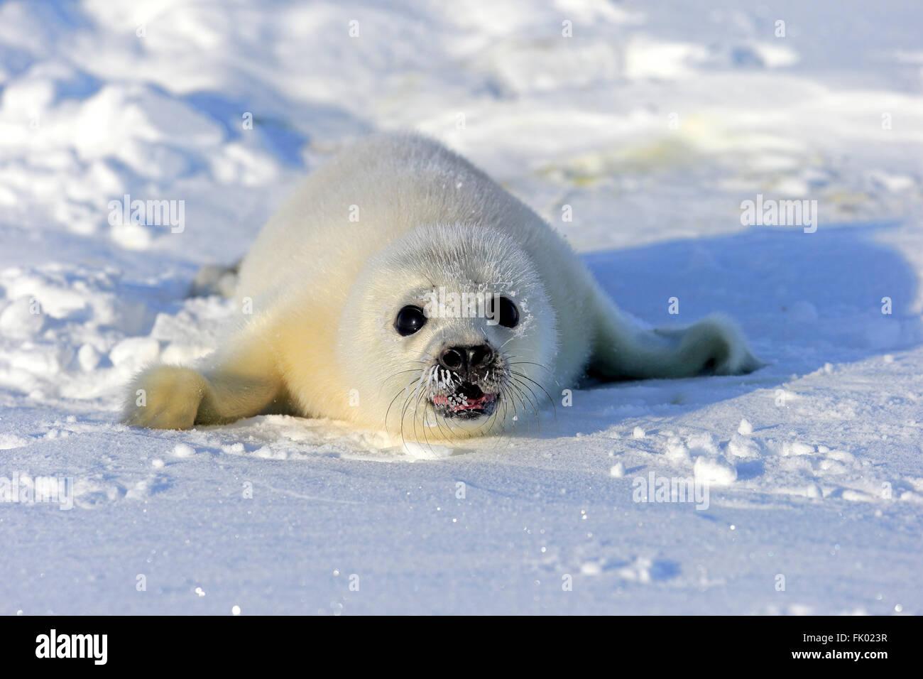 Mother harp seal (Phoca groenlandica) and pup (yellowcoat), Gulf ...
